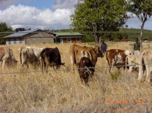 Cattle in school compound